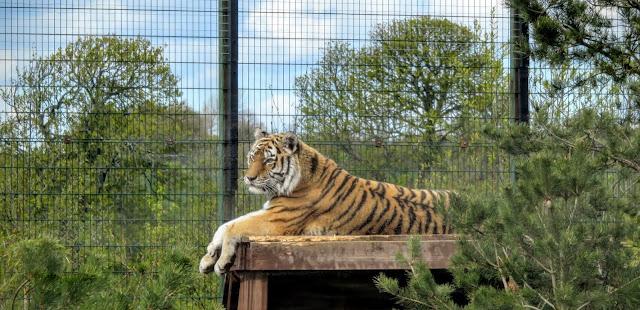 Tayto Park - Tiger