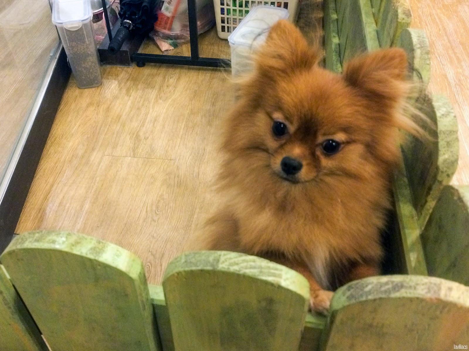 Seoul, Korea - Summer Study Abroad 2014 - Bauhaus Dog Cafe Pomeranian