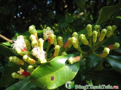 Cách chữa viêm họng tại nhà bằng cây đinh hương
