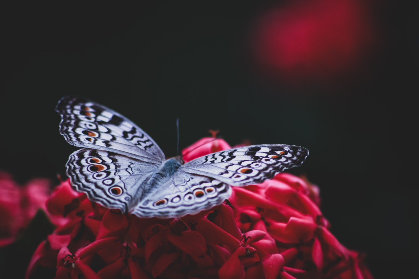 silver-and-black-butterfly-on-red-artificial-flower-pictures