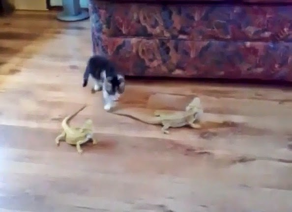 http://www.funmag.org/video-mag/funny-videos/kitty-vs-lizard-funny-video/