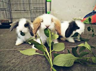 Makanan kelinci kecil
