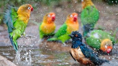 2 Manpaat Dan Khasiat Memandikan Burung Lovebird Malam Hari Paling Lengkap