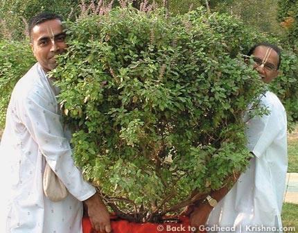 tulsi-plant-तुलसी का पौधा बता देगा, आप पर कोई मुसीबत आने वाली है क्या