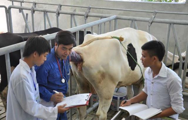 """Bức ảnh """"Nghề thú vị, ít cạnh tranh"""" chụp TS. Sử Thanh Long (áo xanh) đang khám cho bò sinh sản tại EduFarm. Bức ảnh này được ông phóng to và đặt trang trọng tại phòng khách của gia đình."""
