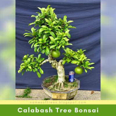 Calabash Tree Bonsai