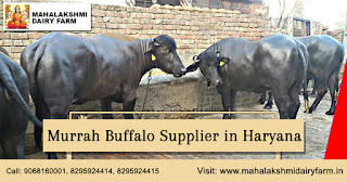 Buffalo For Sale >> Best Dairy Farm In Karnal Haryana Murrah Buffalo For Sale
