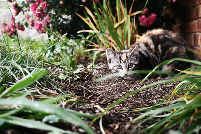grey tabby cat hiding in the grass in a garden