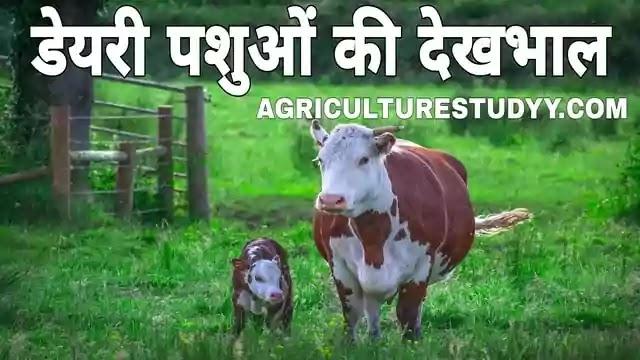 डेयरी पशुओं की देखभाल एवं उनका प्रबन्धन, care and management of dairy cattle in hindi, ग्याभिन गाय व छोटे बछडे़-बछियों की देखभाल एवं उनका पालन पोषण, गाय के बियाने से पूर्व लक्षण, ग्याभिन गाय के लक्षण, बियाई गायों की देखभाल