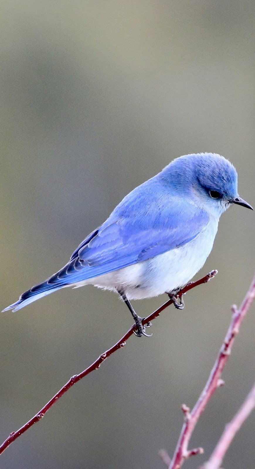 A cute little blue bird.