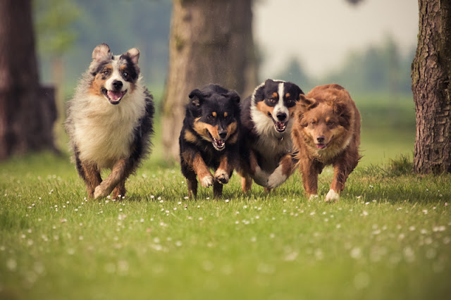 Science and science blogging can help animal welfare for dogs like these Aussies
