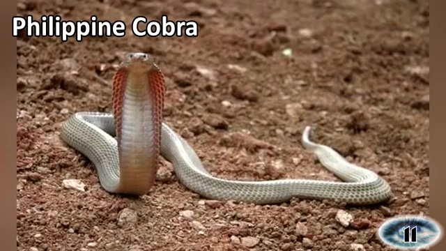 The Philippine Cobra, most venomous snake, most poisonous snake, top ten venomous snake, top ten poisonous snake