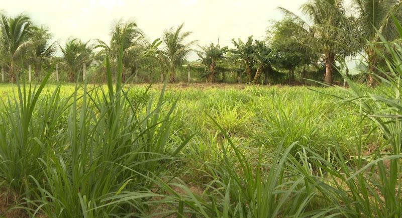 Mở rộng diện tích trồng cỏ phục vụ chăn nuôi gia súc