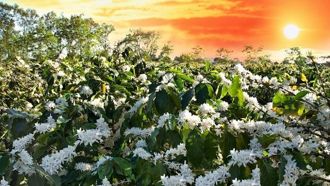 """Mùa hoa """"Tuyết trắng"""" Tây Nguyên nở rộ, đất trời đại ngàn nhuốm màu trắng tinh khôi"""