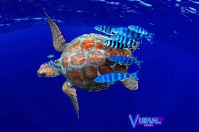Contoh Simbiosis Komensalisme Ikan Pilot Dan Penyu