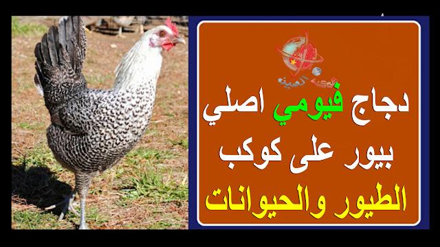 "دجاج فيومي ، دجاج فيومي، حقائق دجاج فيومي ، سلالة دجاج فيومي ، دجاج فيومي مصري ، خصائص دجاج فيومي ، سلوك دجاج فيومي ، مزاج دجاج فيومي ، صورة دجاج فيومي""""دجاج فيومي"" ""دجاج فيومي للبيع"" ""دجاج فيومي ذهبي"" ""دجاج فيومي بياض"" ""دجاج فيومي احمر"" ""دجاج فيومي للبيع في مصر"" ""دجاج فيومي بيور"" ""دجاج فيومي المنيوم"" ""دجاج فيومي قولد"" ""دجاج فيومي اصلي للبيع"" ""دجاج فيومي اورنج"" ""دجاج فيومي اسود"" ""دجاج فيومي ابيض"" ""دجاج فيومي اصلي"" ""دجاج فيومى"" ""ouedkniss دجاج فيومي"" ""دجاج فيومي للبيع في الإمارات"" ""دجاج فيومي للبيع في تونس"" ""دجاج فيومي للبيع في السودان"" ""دجاج فيومي للبيع الرياض"" ""دجاج فيومي للبيع في الكويت"" ""دجاج فيومي للبيع في المغرب"" ""دجاج فيومي للبيع في الجزائر"" ""فراخ فيومي للبيع"" ""دجاج لوهمان للبيع"" ""دجاج فيومي للبيع جدة"" ""دجاج فيومي للبيع بجدة"" ""دجاج فيومي للبيع الاردن"" ""دجاج فيومي للبيع في الامارات"" ""دجاج فيومي للبيع في الرياض"" ""دجاج فيومي للبيع مكه"" ""دجاج فيومي ذهبي للبيع"" ""دجاج منتزه ذهبي"" ""دجاج تكاً"" ""مطلوب دجاج فيومي بياض"" ""مزرعة دجاج فيومي بياض"" ""دجاج فيومي اصل بياض"" ""للبيع دجاج فيومي بياض"" ""دجاج البياض"" ""دجاج بياض بوفانز"" ""دجاج الساسو البياض"" ""دجاج فيومي بياض للبيع"" ""دجاج بياض احمر"" ""دجاج بياض للبيع فى مصر"" ""دجاج بوفانز"" ""حراج دجاج فيومي المنيوم"" ""دجاج فيومي المنيوم للبيع"" ""حراج دجاج فيومي قولد"" ""دجاج فيومي قولد للبيع"" ""دجاج فيومى للبيع"" ""دجاج فيومي تركي"" ""فراخ فيومى"" ""فراخة دجاج للبيع"" ""دجاج فيومي للبيع بالرياض"""