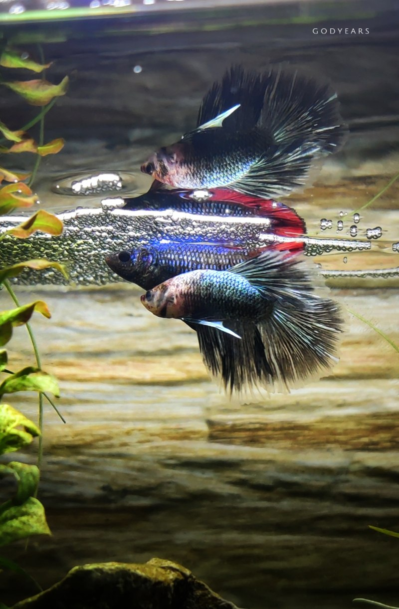 siamese fighting fish breeding and laying eggs below a bubble nest