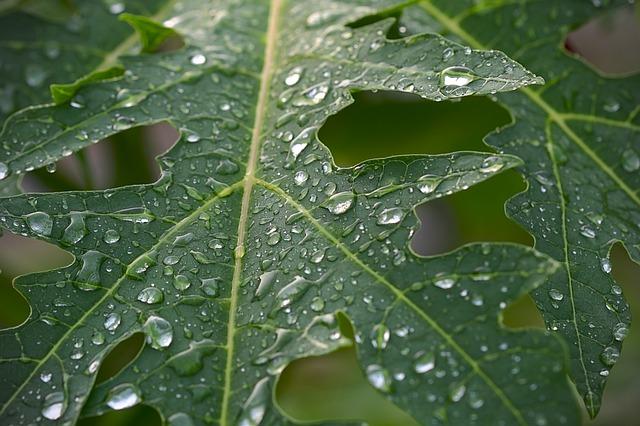 manfaat daun pepaya untuk obat