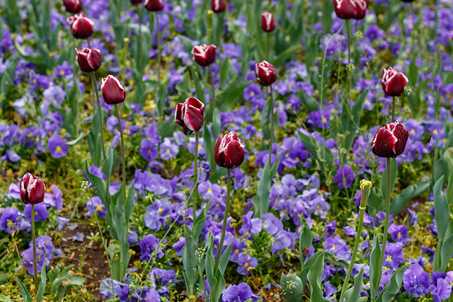 Red Tulips in Spring Blossom Free Image