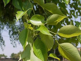 शीशम पेड़ के उपयोग फायदे औषधीय गुण । Shisham Tree Hindi