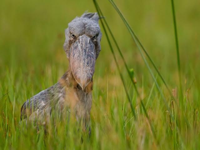 """هذا الطائر غريب المظهر يطلق عليه إسم """" Kitogav """" وهو أحد الطيور التي تعيش في أوغندا ."""
