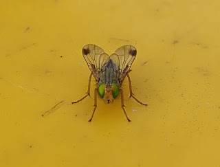 a fly with green eyes sits on a yellow bin lid
