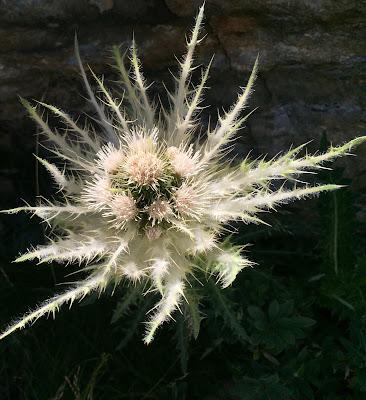 Cirsium spinosissimum (Cardo spinosissimo)