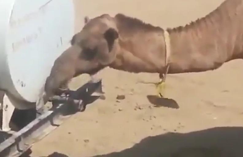 فيديو | سبحان الله .. جمل يقوم بفتح المياه ليشرب و يغلقها مرة أخرى