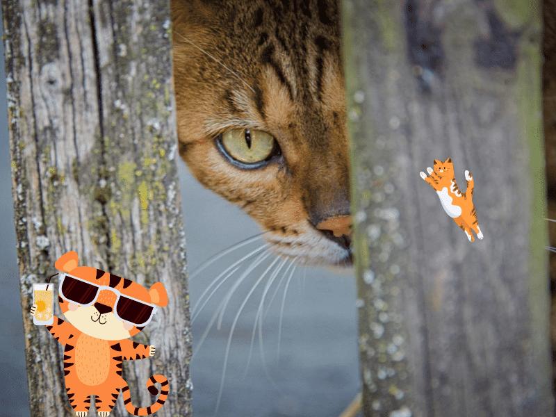 Historia del gato bengalí