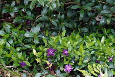 purple vinca in the stumpery