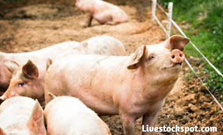 Pigs playing on a  perfect pig farm