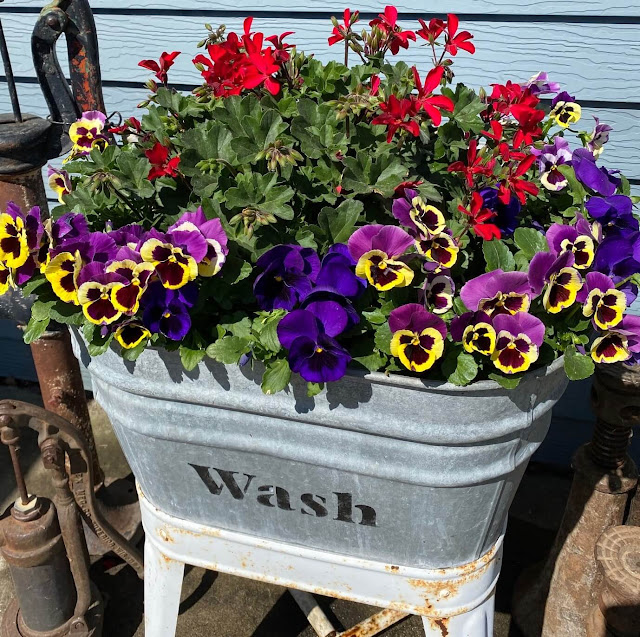 Photo of a laundry tub of pansies & an ivy geranium basket.