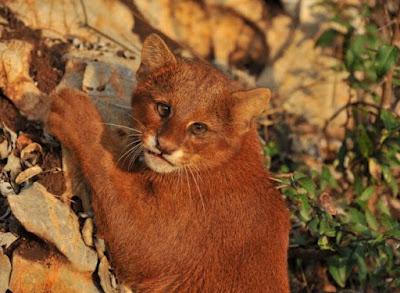 Sejarah Ras Kucing Jaguarundi
