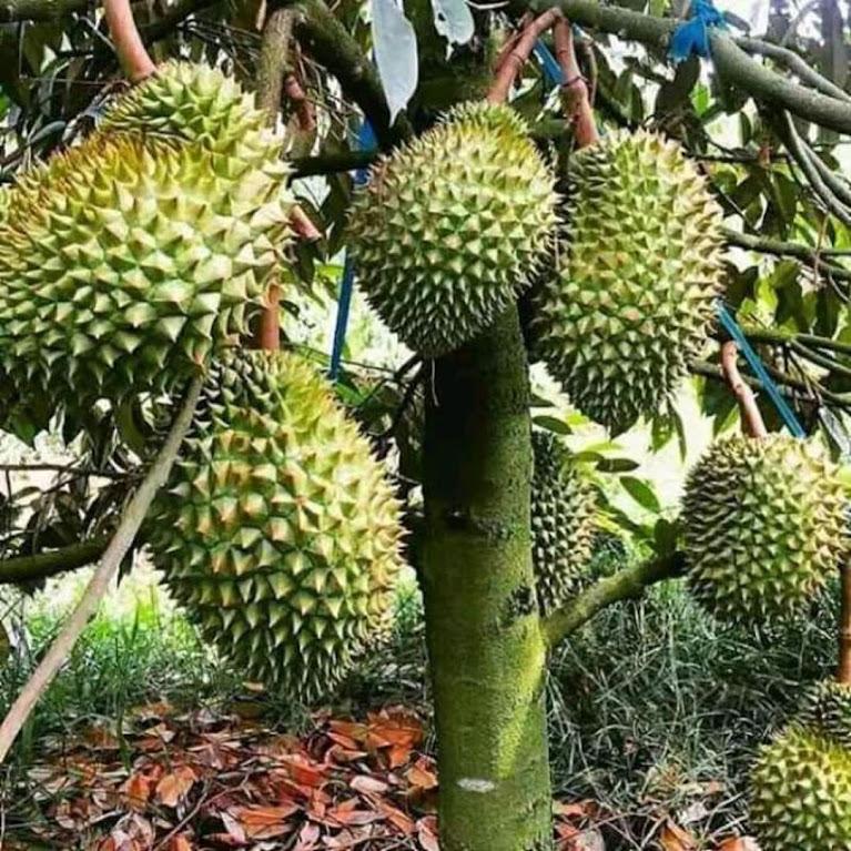 Bibit durian montong BIBIT TERBAIK Makassar