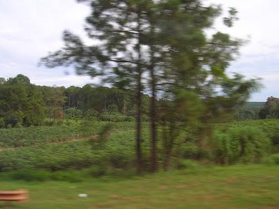 Plantaciones pinos y yerba mate, Misiones, Argentina, vuelta al mundo, round the world, La vuelta al mundo de Asun y Ricardo