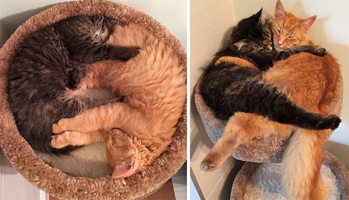 50 Heart-Warming Photos of Animals Growing Up Together - Inseparable Cats Lili And Renley Insist On Sleeping Together Even After Outgrowing Their Bed