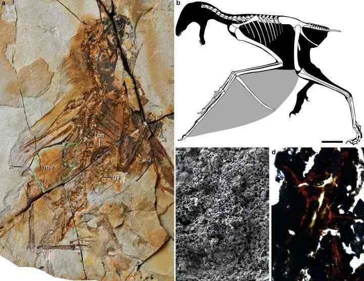 New Gliding dinosaur with bat-like wings discovered in China The fossilized remains of a dinosaur with bat-like wings has been discovered in China, shedding light on the origin of flight and how dinosaurs evolved into birds