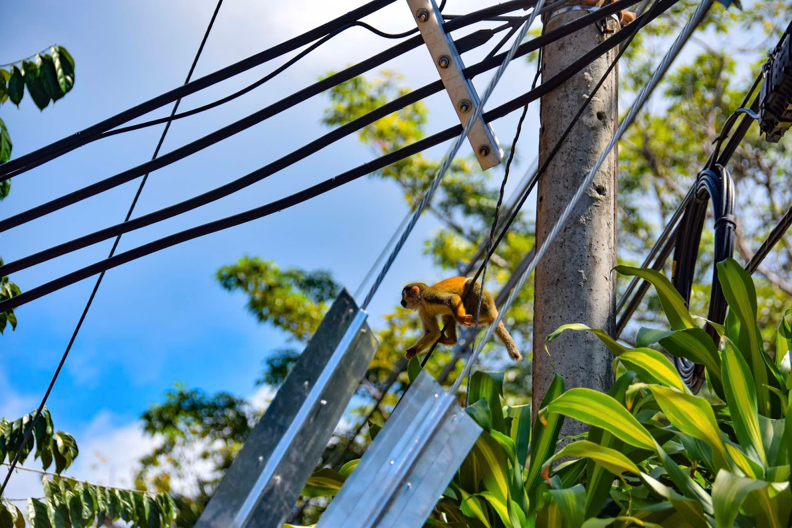 monkey on the telephone lines