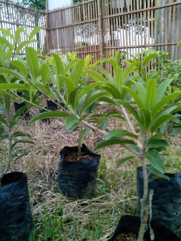https://tipspetani.blogspot.com/2019/01/dimana-pohon-sawo-bisa-tumbuh-baik.html