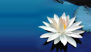 Gambar Bunga Teratai Putih Yang Cantik_Lotus Flower Picture