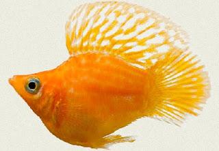 Cara Memelihara Ikan Guppy yang baik,cara memelihara ikan guppy di aquarium,cara budidaya ikan guppy,cara beterna ikan guppy,cara merawat ikan guppy,makanan ikan guppy biar cepat besar,