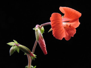 Pelargonium boranense, Madagascar (pinnate leaves)