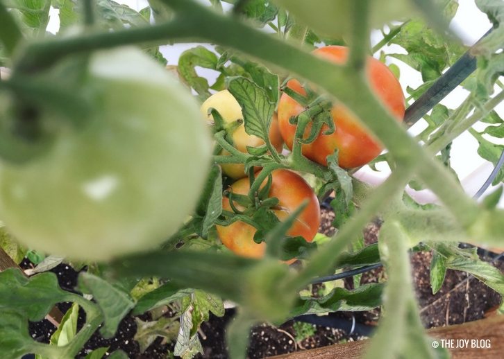 Early girl tomatoes on July 6 // www.thejoyblog.net