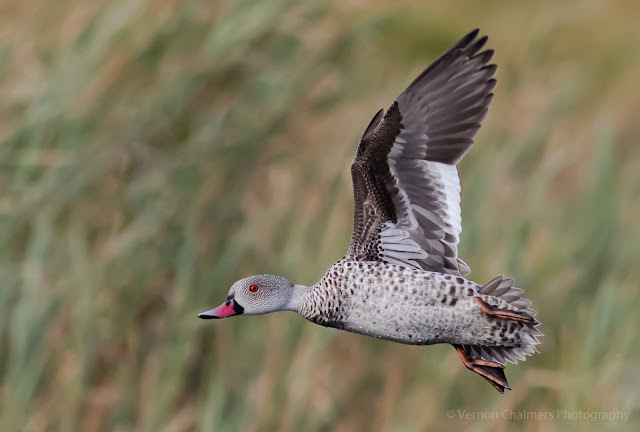 Cape Teal Duck in Flight Table Bay Nature Reserve Milnerton Vernon Chalmers Photography