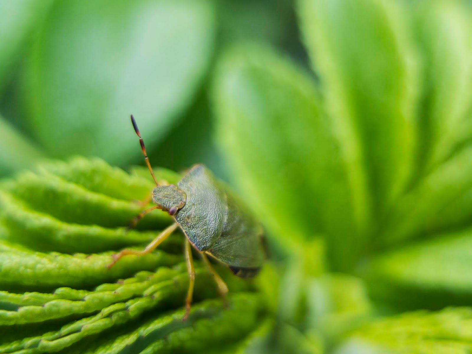 Macro of a Green Stink Bug on rose leaves.