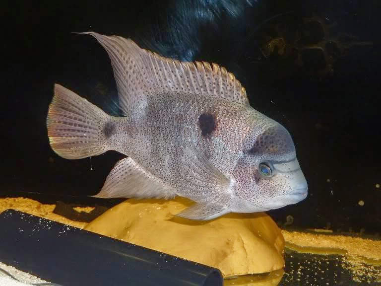 Peces y plantas ornamentales vieja argentea mojarra for Reproduccion de peces ornamentales
