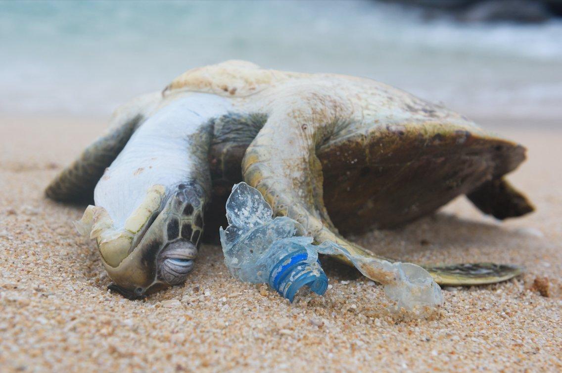 Australia la meta 39 delle tartarughe morte premature ha la for Vasche di plastica per tartarughe