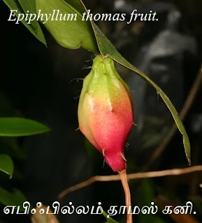 Epiphyllum thomas fruit