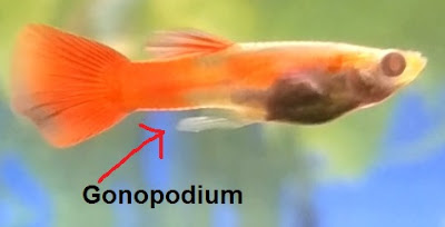 ikan guppy banci