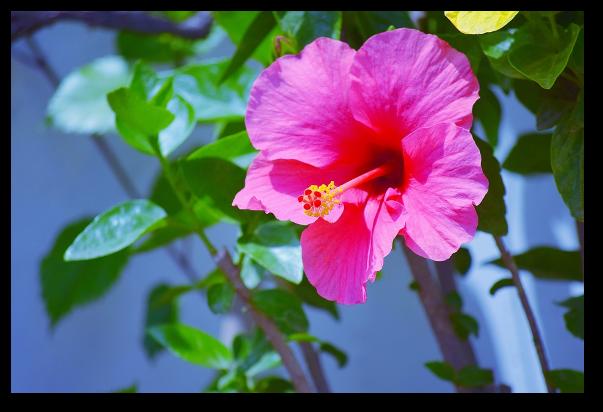 Hibiscusul ajuta in suferintele cardiovasculare, digestive, urinare